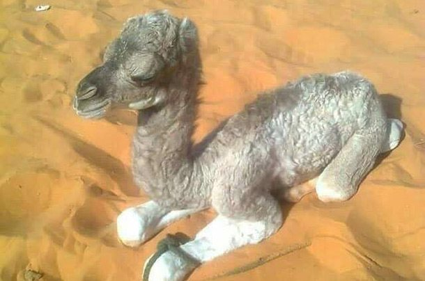 Zakaria's-Baby-Camel