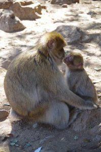 Authentic sahara tours - morocco monkeys