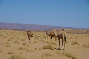 Erg Chigaga Camels