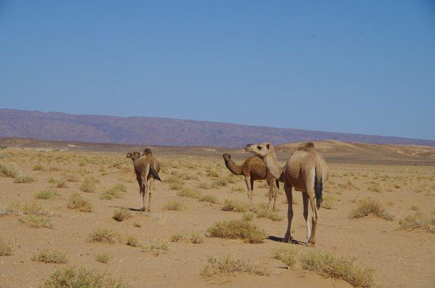 ERG-CHIGAGA-Chigaga-camels