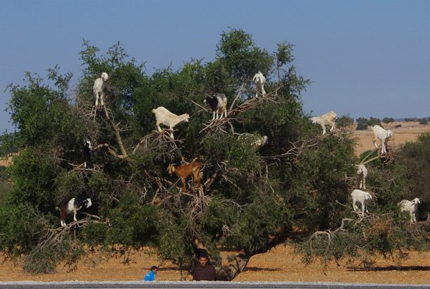 ESSAOUIRA-BEST-Goats-in-Trees-SU13